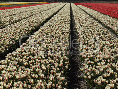 Tulpenfeld bei Lisse, Niederlande