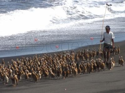 Pędzenie kaczek nad brzegiem morza