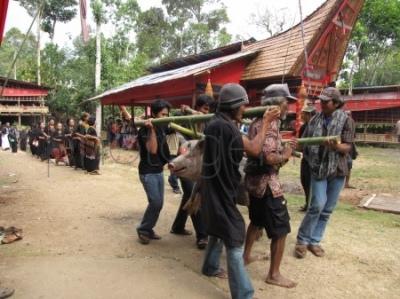 Transport świni podczas ceremonii pogrzebowej w Tana Toraja