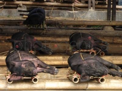 Świnie na targu