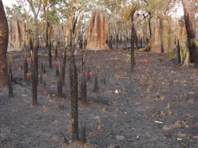 Termitiery na spalonej ziemi