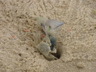 Żeglarz portugalski (Physalia physalis) zaciągana przez kraba do nory