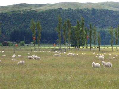 Nowozelandzkie owce