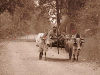 Wóz zaprzężony w woły