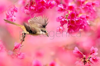 Brown shrike flying amongst pink flowers, Taiwan