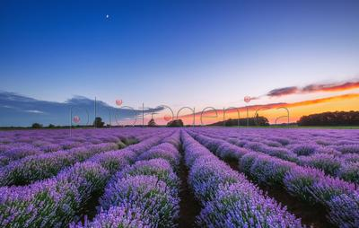 Lavender field at sunrise, Provence, France