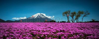 Purple flower field with Mount Fuji in background, Japan
