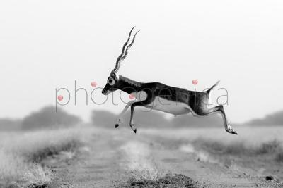 Indian antelope jumping over dirt track
