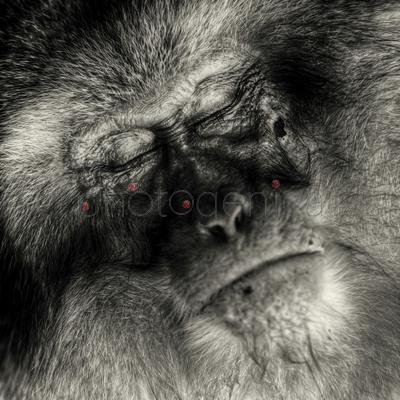 Portrait of sleeping monkey, Hirao, Nagano Prefecture, Japan