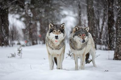 Outdoor portrait of two wolves standing in forest in winter, Langedrag Nature Park, Norway